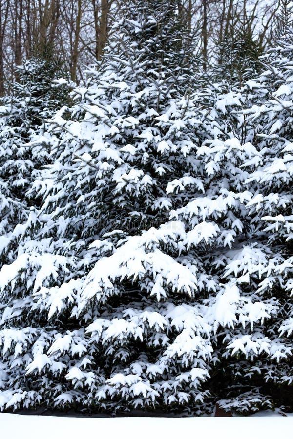 Закрытие сосен, покрытых снегом, в снежном одеяле по вертикали Висконсина стоковые изображения