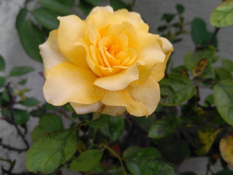 Закрытие цветка желтой розы и растения зеленых листьев, растущих в саду, природная фотография, узорный фон стоковые фото