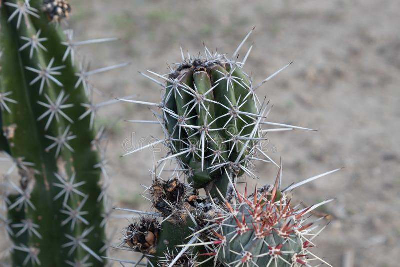 Закрыто до небольшого спинде-кактуса в пустыне стоковые изображения rf