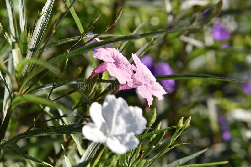 Закрыто до Ruellias Tuberosa Прекрасный розовый цветок в саду, Дикая Петуния Бриттона/Мексиканский блюбелл/мексиканская Петуния стоковые изображения rf