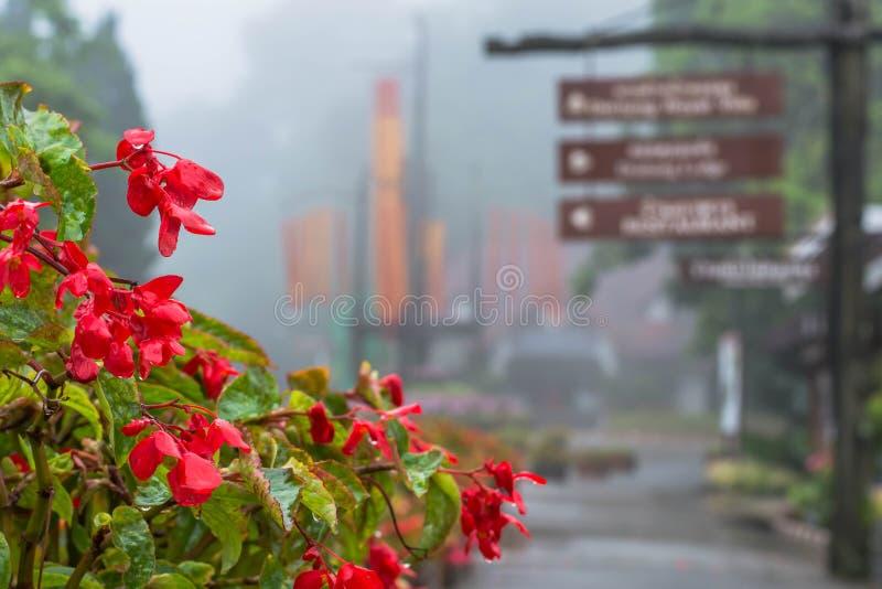 Закрытый вверх красивых цветков на Градусе Фаренгейта Luang Mae стоковая фотография rf