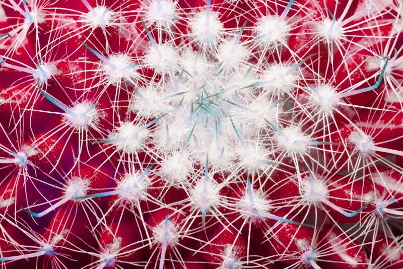 закрыть макро-милые кактусы или кактуальный фон с красным листом в стиле неона стоковые изображения
