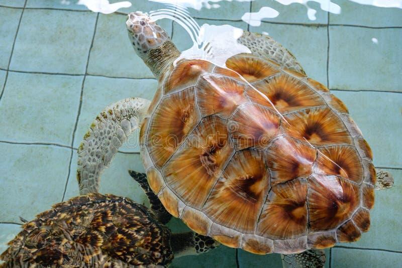 Закрыть Морская черепаха, черепаха Хоксбилла плавали в пруду стоковые фото