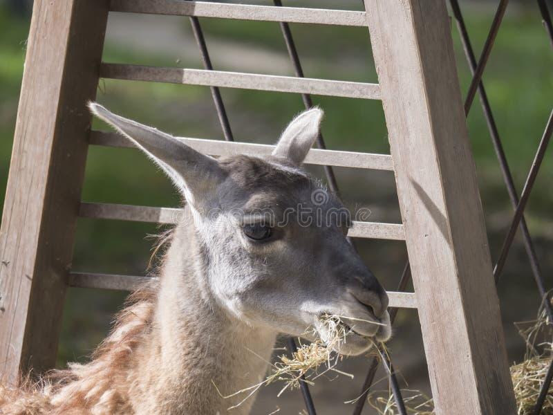 Закрыть портрет профиля Guanaco Lama guanicoe head shot в стойке стоковая фотография rf