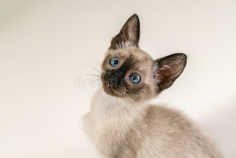 Закрыть симпатичный восьмилетний сиамский коттенок Портрет пурпурного кота с голубыми глазами сидящего на белом фоне Понятия стоковое изображение rf
