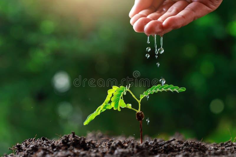 Закрыть фермер Рука поливает молодые растения тамаринда стоковое фото rf