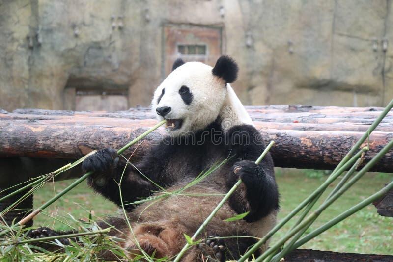 Закуска панды стоковые фото