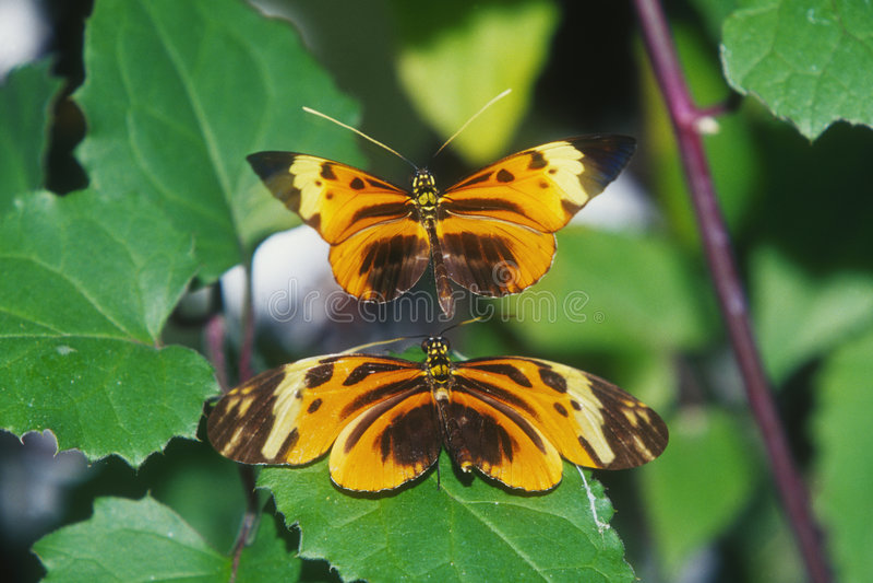 залатанный longwing кармазина бабочки стоковое фото rf