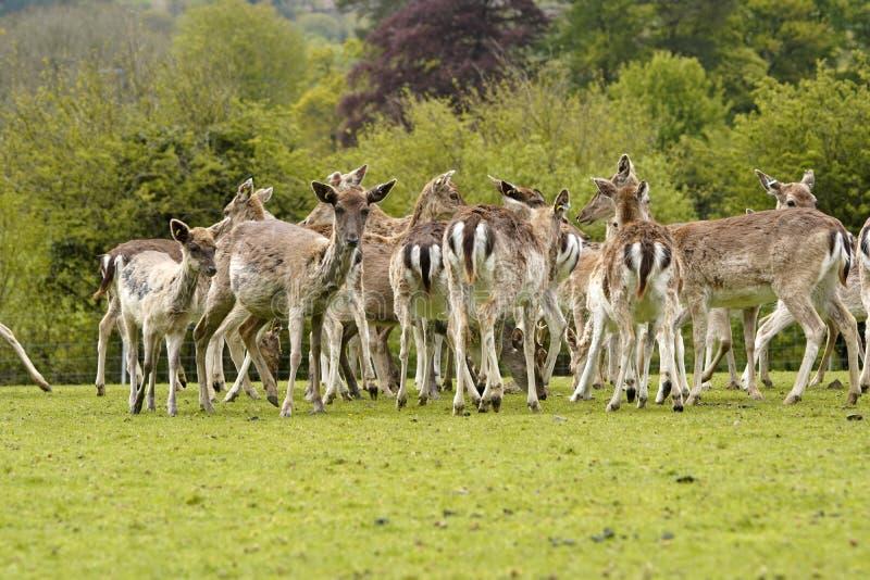 Залежные олени парка в землях парка оленей Dartington стоковое фото