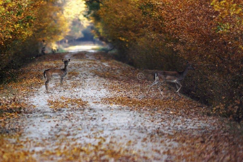 Залежные олени проходя дорогу в лесе стоковая фотография rf
