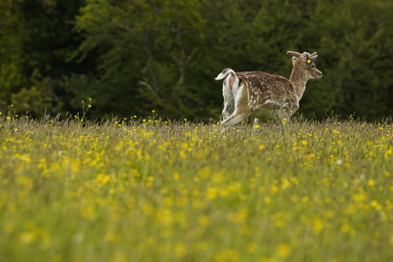 Залежный самец оленя с новым ростом antler весной приурочивает лютики стоковые изображения
