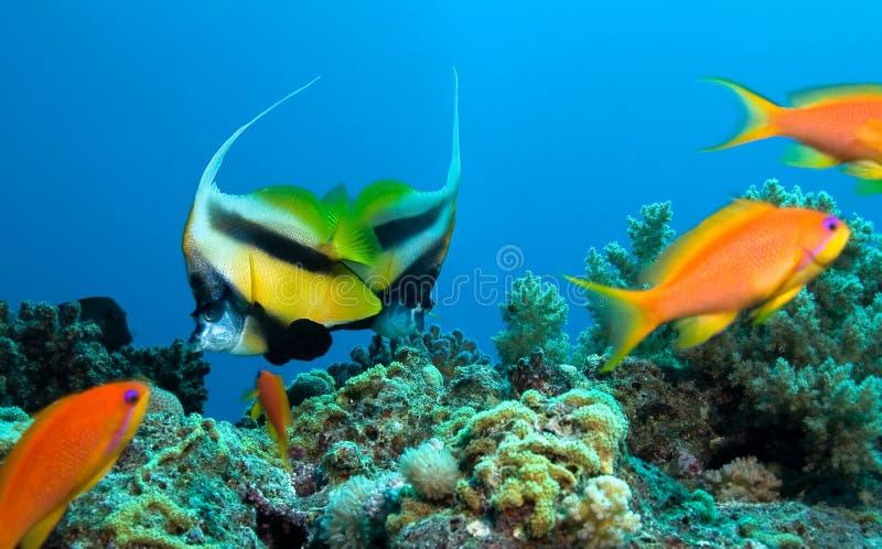 замаскированные рыбы бабочки стоковая фотография rf