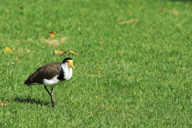 Замаскированный Lapwing, мили Vanellus, на траве стоковое фото