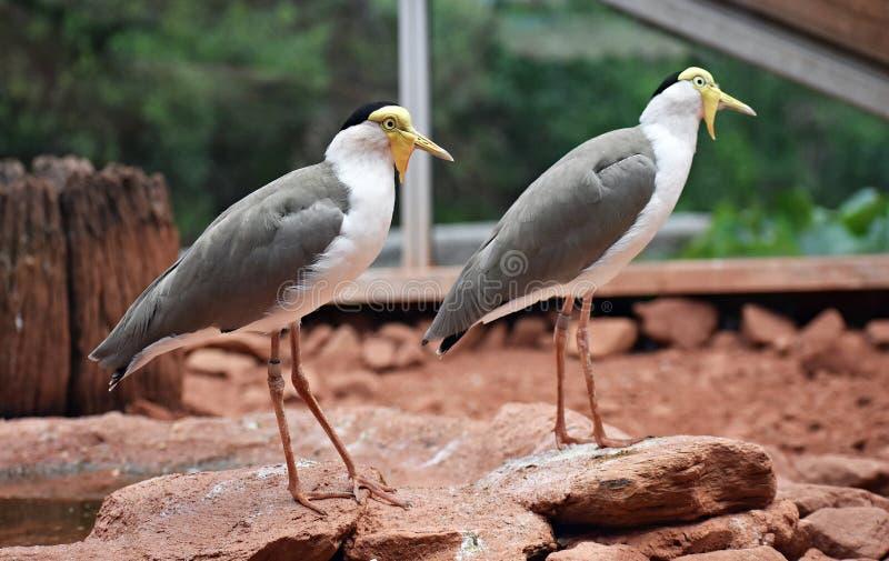 2 замаскированных Lapwings, мили Vanellus стоковое фото