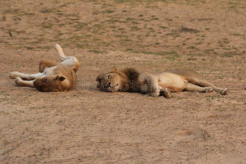 Замбия: Львы ослабляя и roling в песке на южном Luangwa стоковые изображения