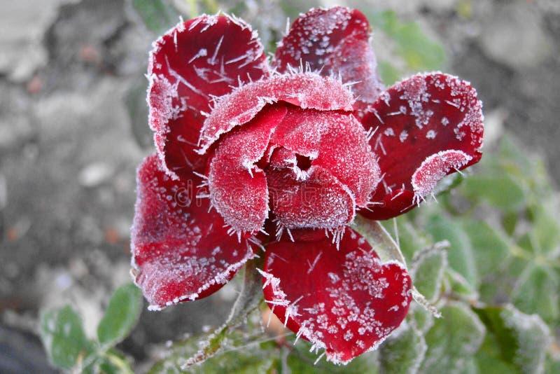 Замерзая роза стоковые фотографии rf