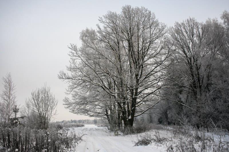 Замерли дуб хмурого forestThe зимы могущественный, ветви деревьев покрытых со снегом и заморозок стоковая фотография rf