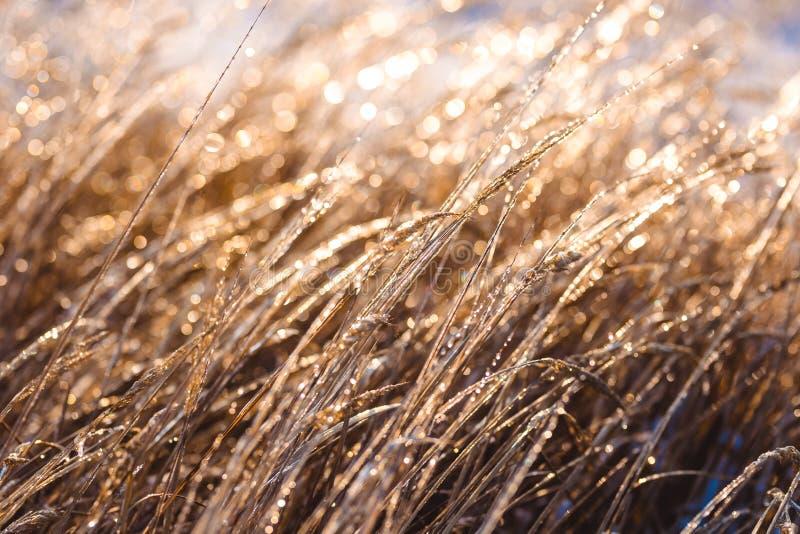 Замерли красивые заводы предусматриванные с сосульками в солнечном свете зима белизны снежинок предпосылки голубая Селективный фо стоковая фотография rf