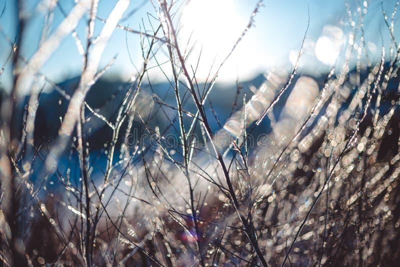 Замерли красивые заводы предусматриванные с сосульками в солнечном свете зима белизны снежинок предпосылки голубая Селективный фо стоковое изображение rf