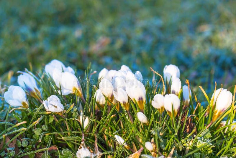 замерли цветки, котор Нежный символ весны стоковые изображения rf
