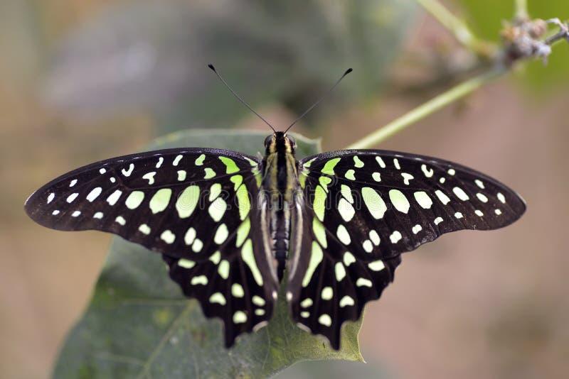 Замкнутая бабочка jay на лист стоковые изображения