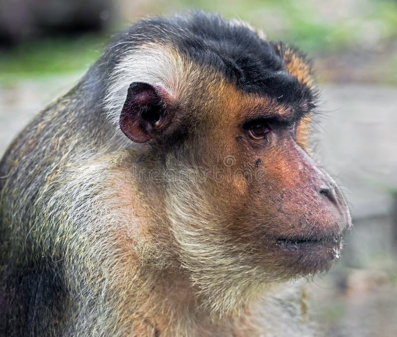 замкнутая свинья macaque стоковое фото rf