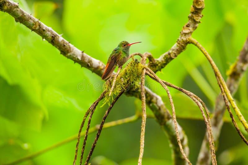 замкнутое rufous hummingbird стоковое изображение