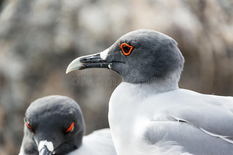 Замкнутый ласточкой крупный план чайки стоковые фотографии rf