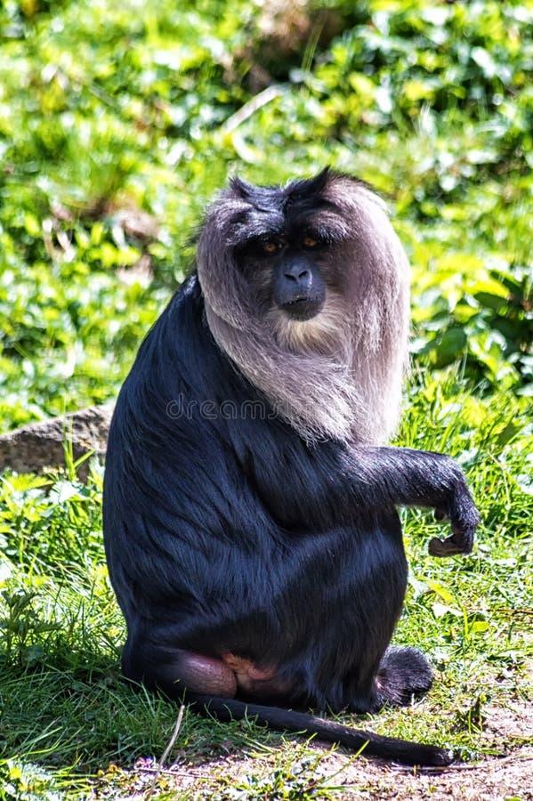 замкнутый macaque льва стоковое изображение