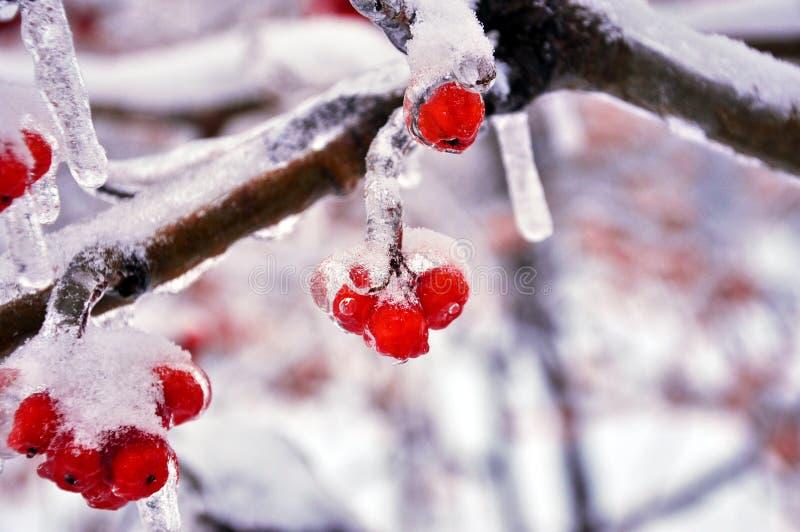 Замороженная рябина стоковые фото