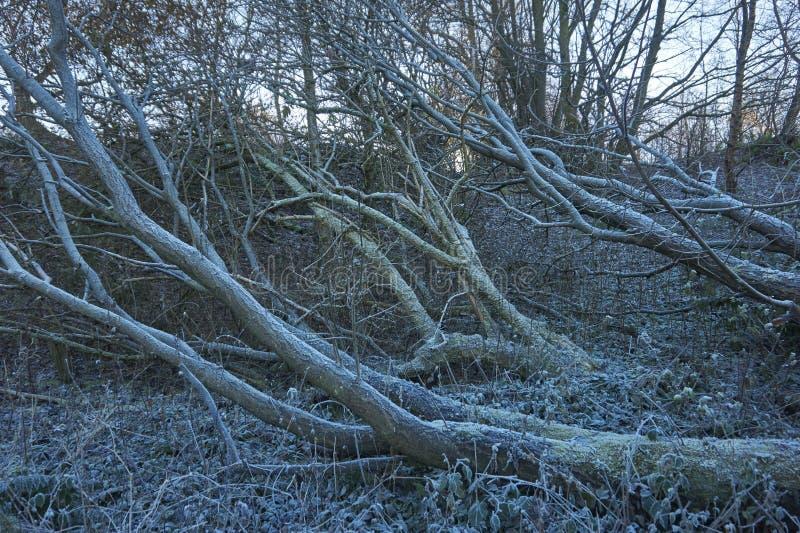 Замороженное мертвое дерево стоковые фото