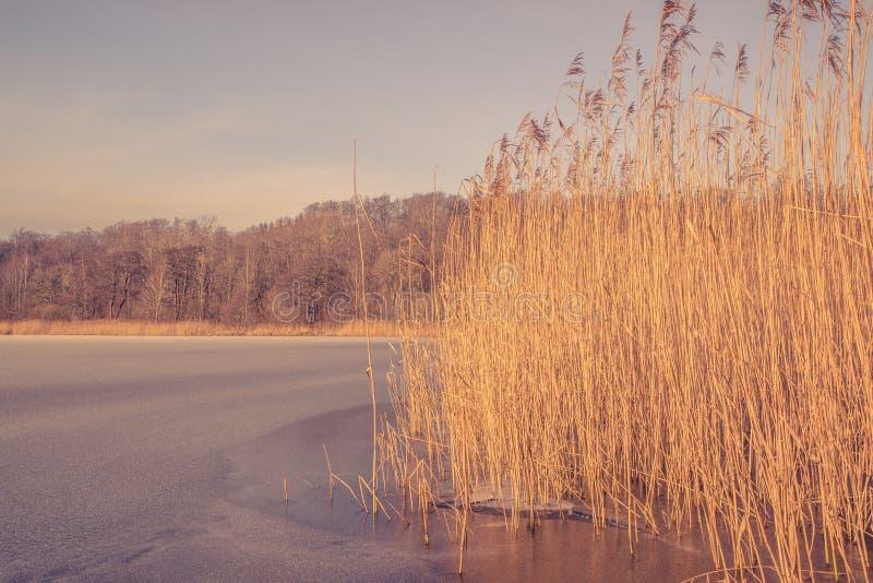 Замороженное озеро с тростниками в зиме стоковые фотографии rf
