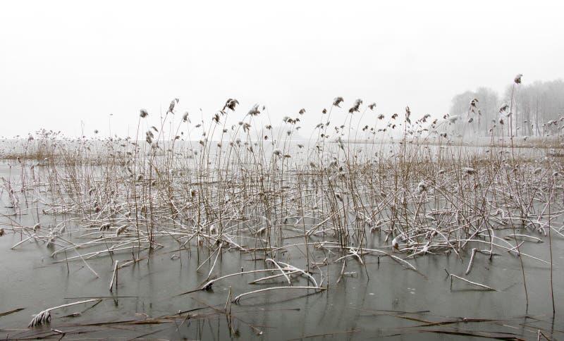 Замороженное озеро с тростниками стоковое фото
