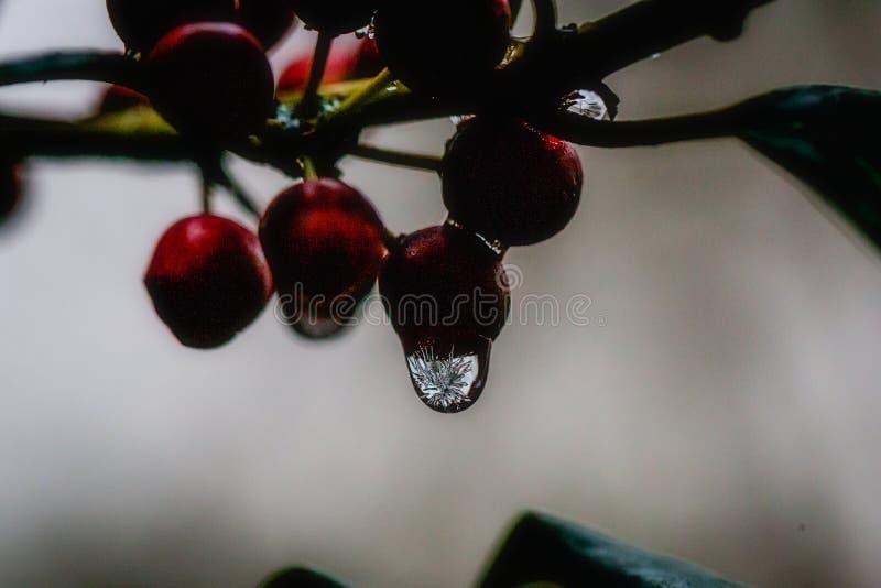 Замороженное падение воды на ягодах падуба стоковые фото