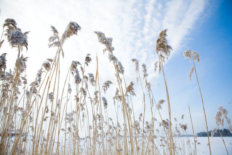 замороженное сено стоковое фото rf