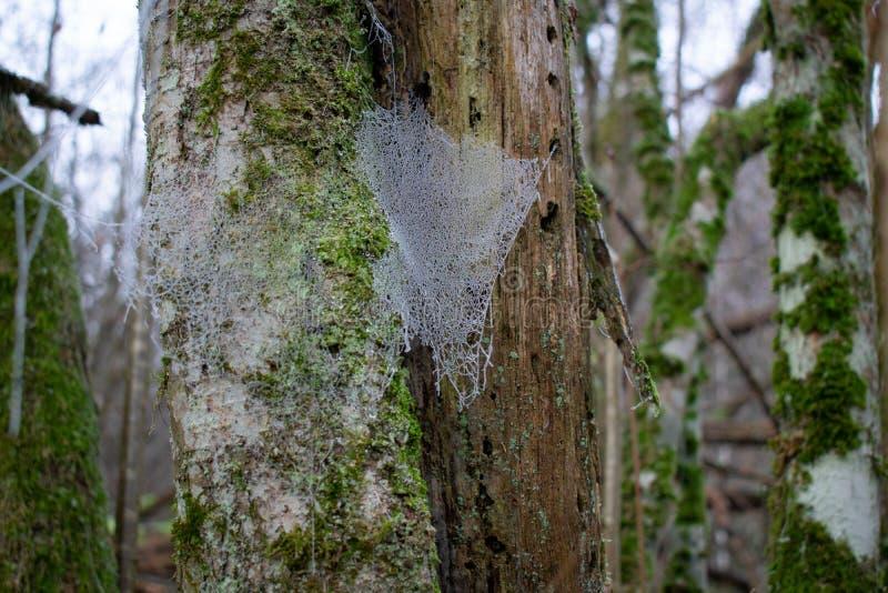 Замороженное spiderweb в лесе во время сезона зимы стоковые изображения rf