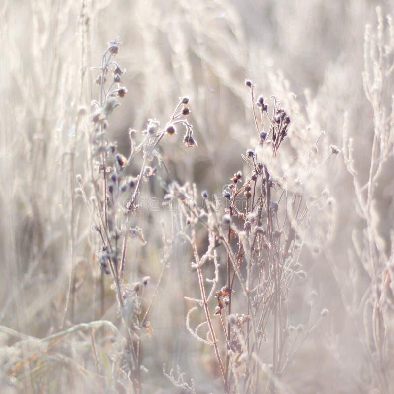 Замороженные ветви с бутонами, заводами морозная зима снежностей природы утра стоковые изображения rf