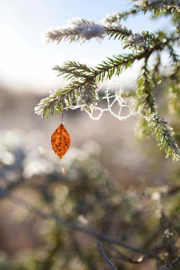 Замороженные елевые ветвь и лист березы стоковые изображения