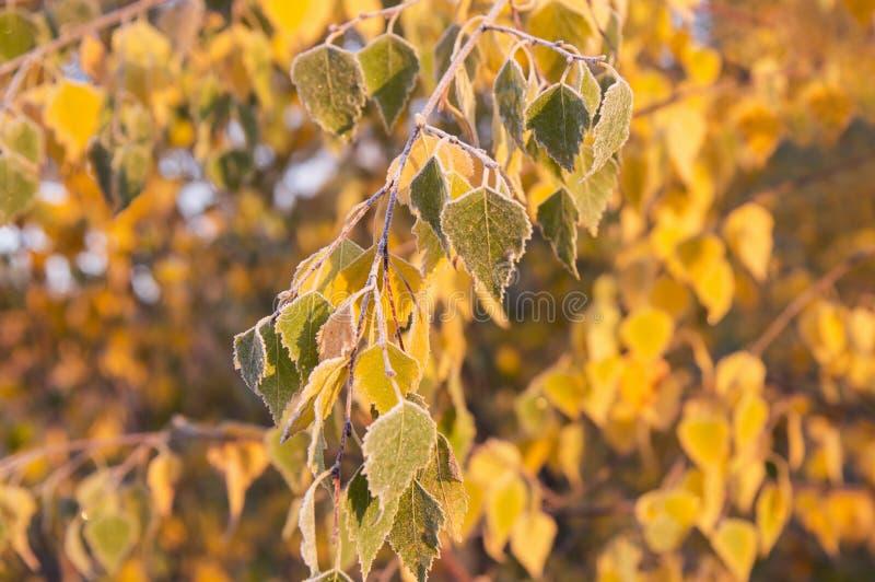 Замороженные листья березы стоковое изображение