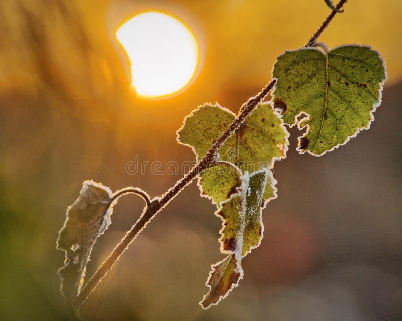Замороженные листья березы стоковое изображение rf