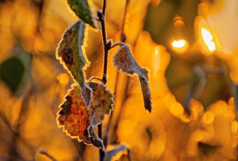 Замороженные листья березы стоковое фото