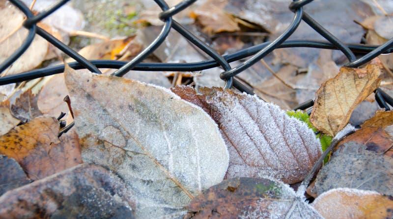Замороженные листья вяза и березы под загородкой сетки предусматриванной crys льда стоковая фотография rf