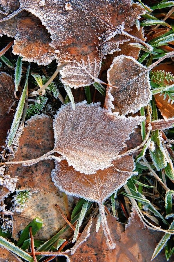 Замороженные листья и трава березы стоковая фотография