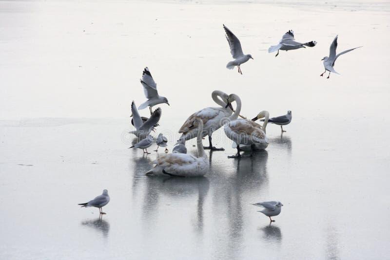 замороженные лебеди озера стоковые изображения rf
