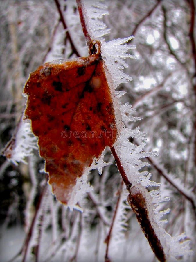 Замороженные лист березы стоковое фото rf