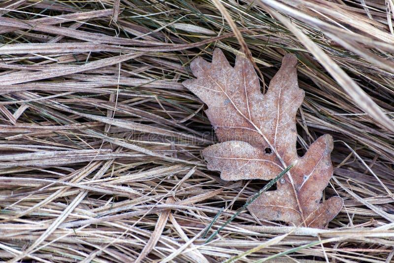 Замороженные лист дуба в лесе стоковые изображения rf