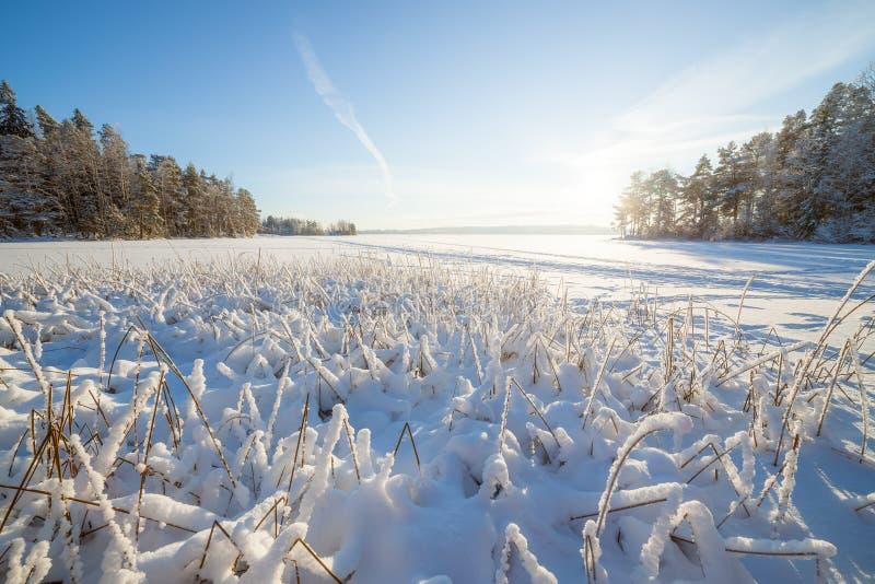 Замороженные озеро и снег покрыли тростники стоковая фотография rf