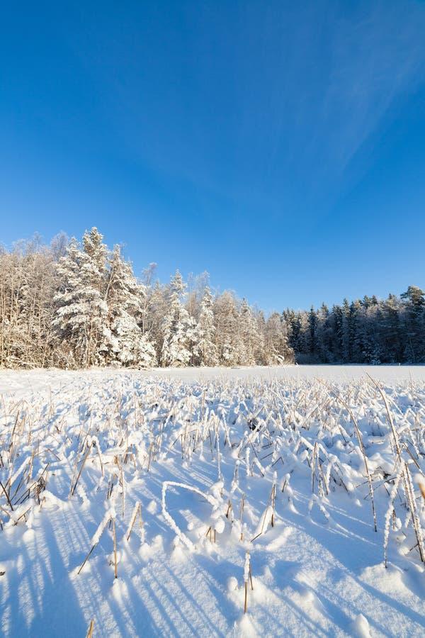 Замороженные озеро и снег покрыли тростники стоковое фото rf