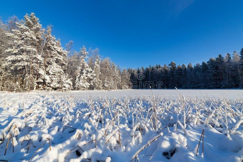 Замороженные озеро и снег покрыли тростники стоковое фото