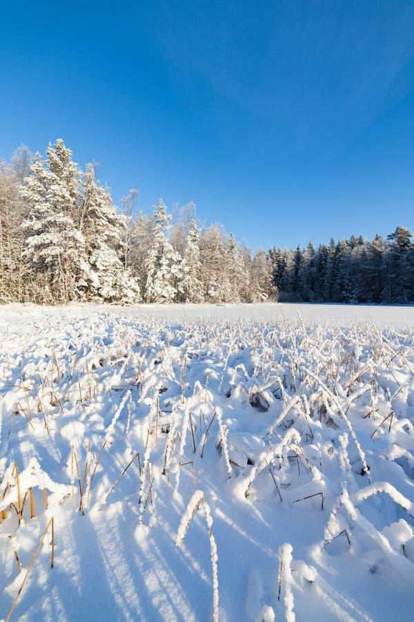 Замороженные озеро и снег покрыли тростники стоковое изображение rf